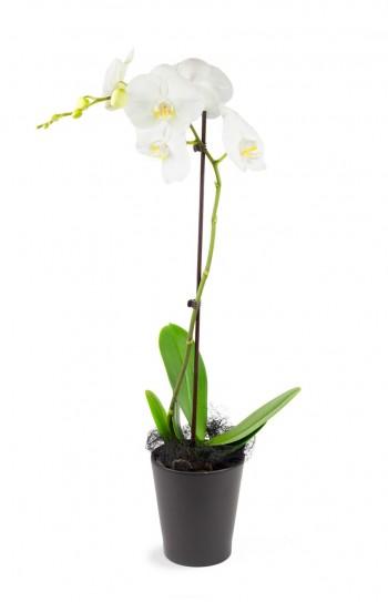 Orchidée une tige