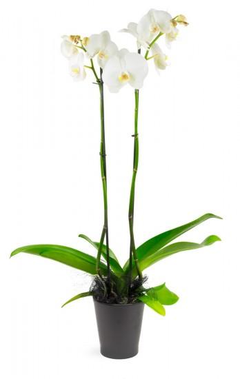 Orchidée deux tiges