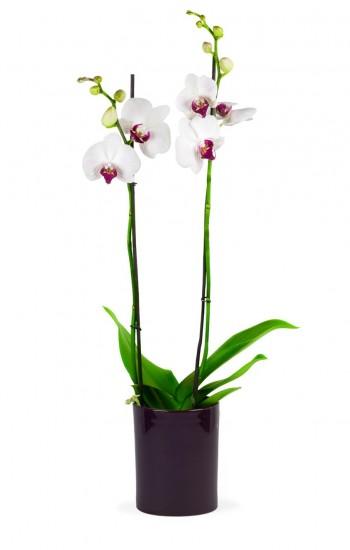 Orchidée blanche à coeur rose deux tiges