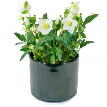 Plante fleurie appelée rose de noël, qui fait partie des rares plantes qui fleurissent l'hiver