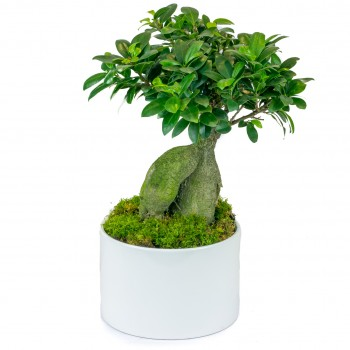bonsaï, variété ficus ginseng avec cache pot