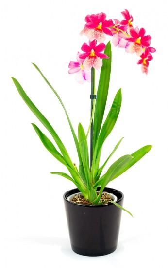 Cambria - Orchidée rouge