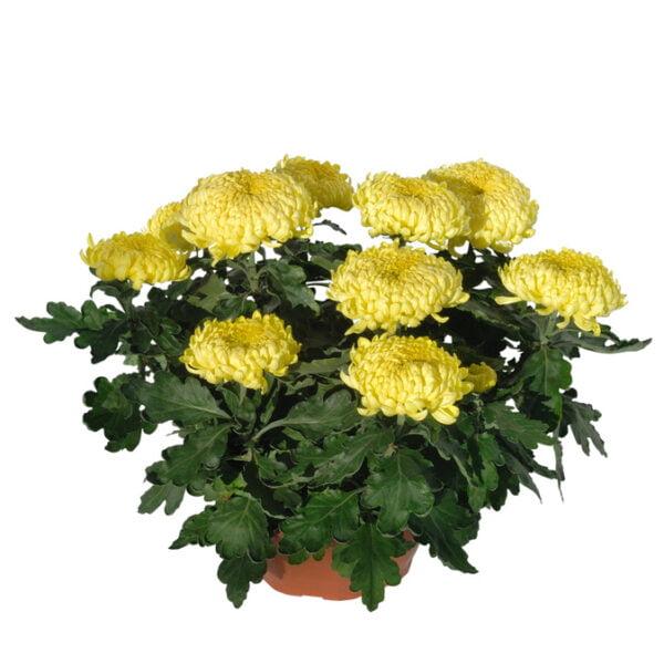 chrysanthèmes grosses têtes