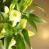 Bouquet d'anastasias