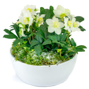 Composition d'hellébores, plante fleurie appelée rose de noël, qui fait partie des rares plantes qui fleurissent l'hiver