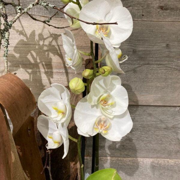 ensemble orchidée zoom