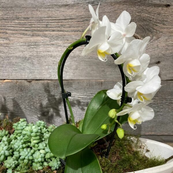 zoom orchidée allongé